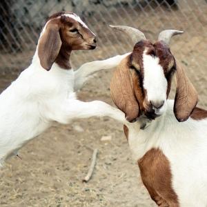 GoatHugs
